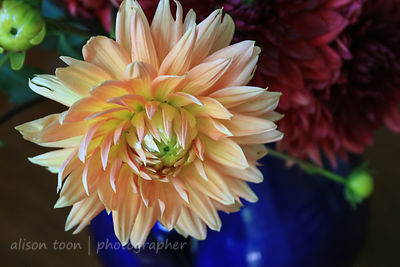 Dahlias in a blue vase