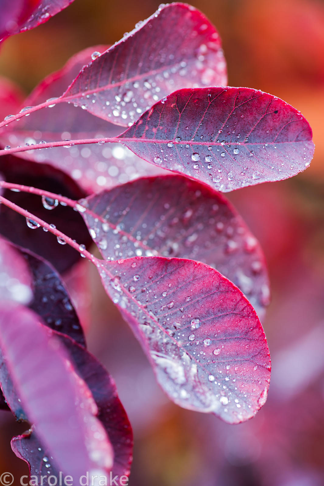 Cotinus leaves with raindrops. The Dingle Garden, Welshpool, Powys, Wales