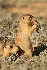 utahprairiedog_siblings_at_the_burrow_vertical