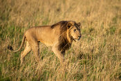 Male lion walking in grassland, Kidepo Valley National Park, Uganda