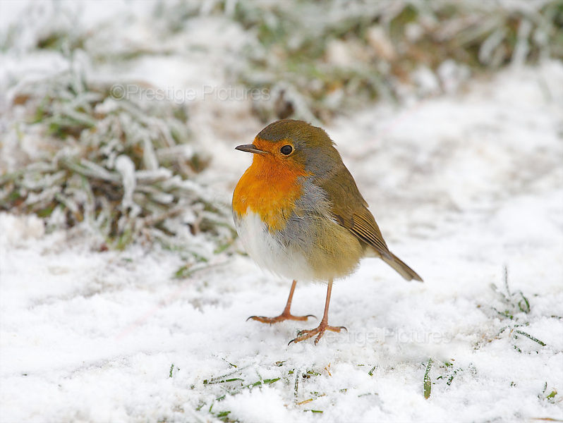 Robin Standing on Snow Covered Grass
