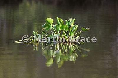 Small floating raft (camalote) of Common Water Hyacinth (Eichhornia crassipes), River Pixaim, North Pantanal, Mato Grosso, Br...