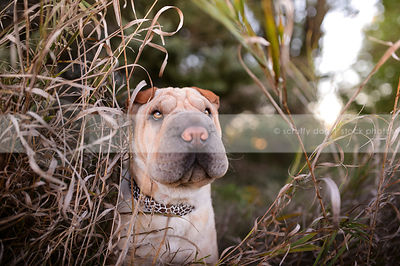 sweet sharpei dog hiding in long dried grasses
