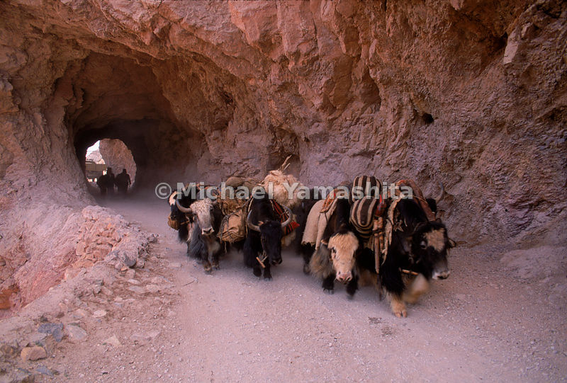 Yak Herders drive their animals through treacherous narrow mountain passes on the outskirts of Zadoi, Qinghai, China.