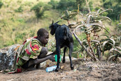 Boy milking a goat in traditional Tepith homstead on Mount Moroto in the heart of Karamoja, northern Uganda