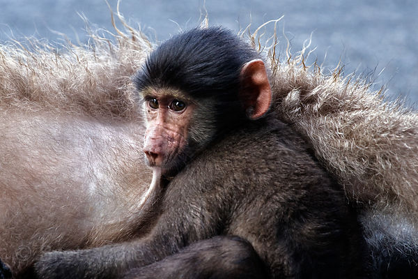 A baby chacma baboon from the Plateau Road troop nurses, Cape Peninsula, South Africa