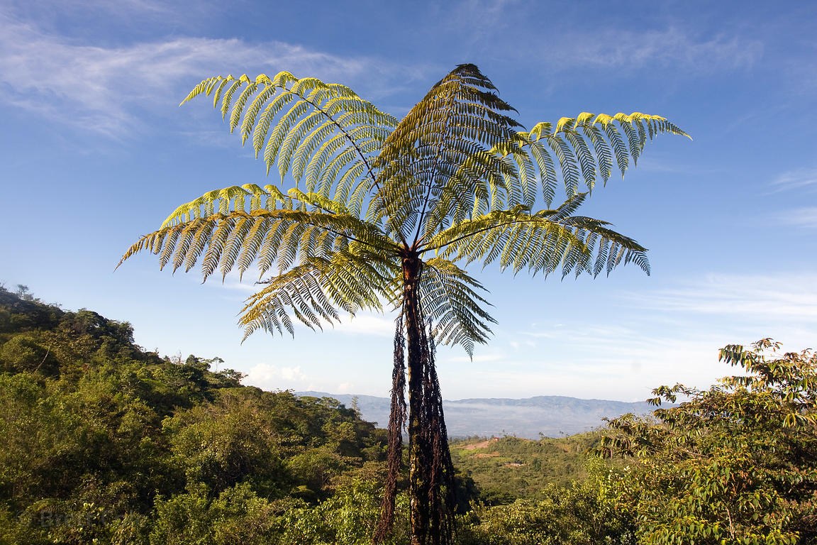 Tree fern, one of the oldest plants on earth and foundation for the Earth's first forests, Las Nubes, Costa Rica