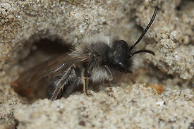 Andrena nycthemera, male at Durmplassen, Merendree