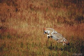 Coyote jumping, Yellowstone NP