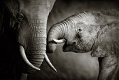 Elephant calf seeking recognition - b&w fine art
