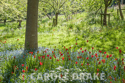 Avenue of red and scarlet oaks with a sea of forget-me-nots studded with scarlet Tulipa sprengeri at their feet. The Old Rect...