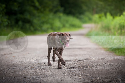 senior brown ticked dog panting walking on gravel path in summer