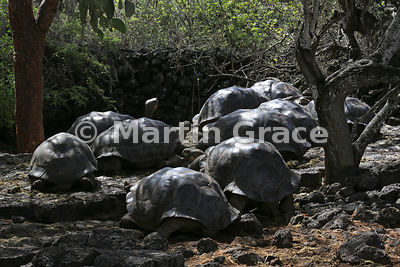 Galapagos Giant Tortoises (domed but of unknown origin) (Chelonoidis nigra aka Geochelone elephantophus), Charles Darwin Rese...