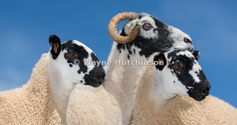 Swaledale ewe with mule lambs, a cross between swaledale ewe and blue faced leicester ram, Cumbria, UK