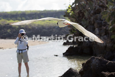 How is easy is wildlife photography in the Galapagos? Swallow-Tailed Gull (Larus furcatus) flying straight over a photographe...