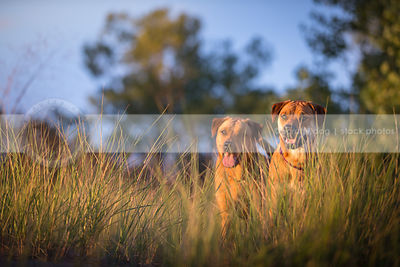 two cross breed red dogs hiding together in natural grasses