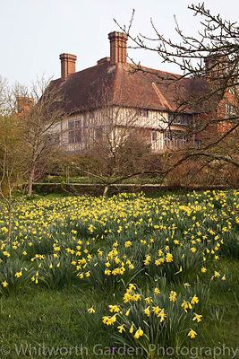 Narcissus 'Princeps' at Great Dixter. © Jo Whitworth