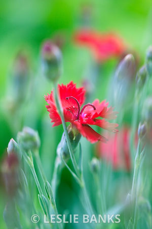 Red Dianthus Flowers