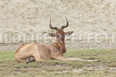 hartebeest_male_resting_1