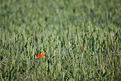 Lone poppy in field of wheat