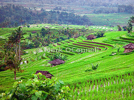 Bali rice fields x1