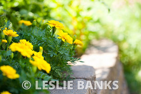 Yellow marigolds in a garden