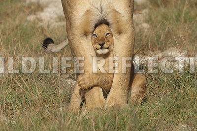 lion_cub_between_legs_1