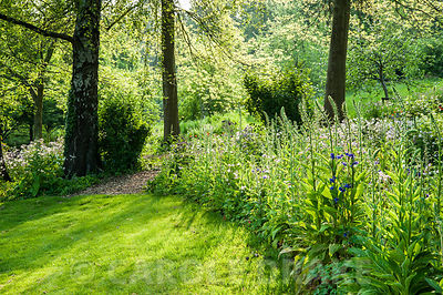 Foxgloves and aquilegias in the evening sun. The Old Rectory, Netherbury, Dorset, UK