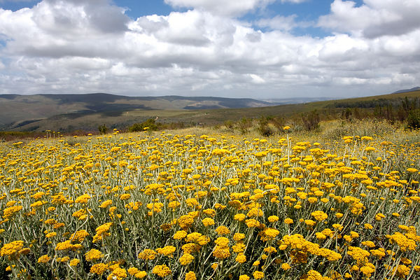 Field of brilliant yellow wildflowers (sp.) in erica fynbos, Wildcliff Nature Reserve, South Africa