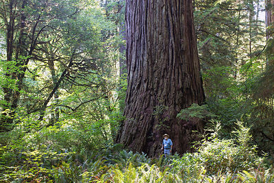 Hikers next to one of the largest Redwood trees on Earth in the Grove of Titans, undisclosed location in Jedidiah Smith Redwo...