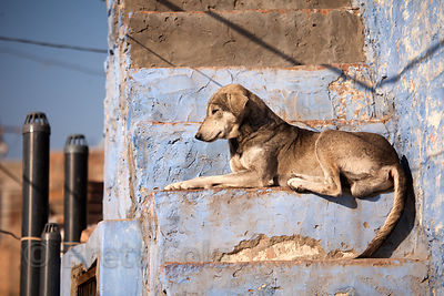 Dog on a stairway in Jodhpur, Rajasthan, India