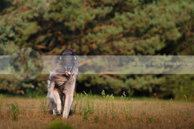 windblown shepherd dog running panting in park grass
