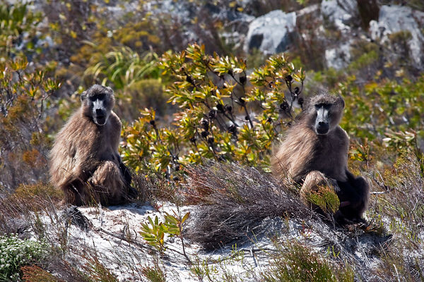 Two baboons from the Kanonkop troop strike a pose atop a boulder in Patry's Valley, Cape Peninsula, South Africa