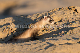 ferret_sunset_stretch-3