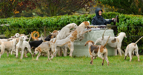 Quorn hounds helping themselves