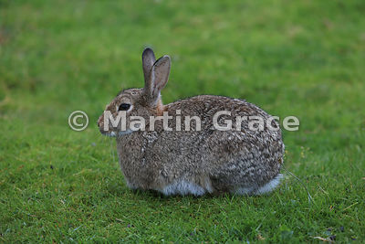 Portrait of a genuinely wild European Rabbit (Oryctolagus cuniculus), Loch Spelve, Isle of Mull, Scotland