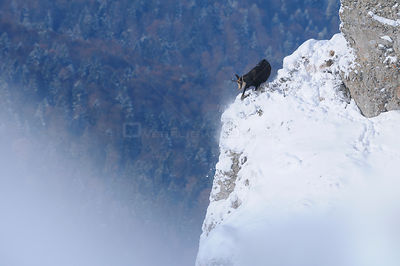 Chamois (Rupicapra Rupicapra Carpatica) on edge of snowy rockface, foraging for vegetation, Ceahlau Mountains, Carpathian Mou...