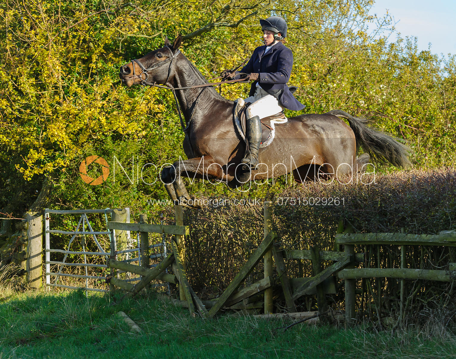 Jumping a hedge next to Mrs Wilson's covert - The Cottesmore Hunt at Braunston, 12-11-13.