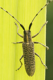 Agapanthia villosoviridescens - Golden-bloomed grey longhorn beetle