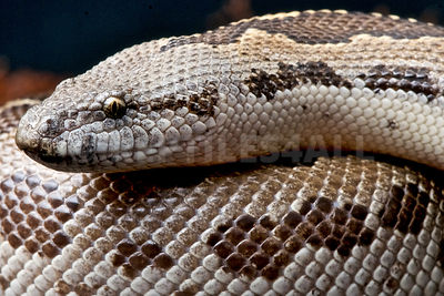 Rough-scaled sand boa  (Gongylophis conicus)