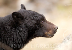 Black_Bear_CloseUp