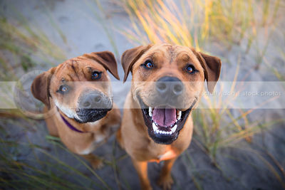 headshot of two tan dogs looking upward from grasses and sand
