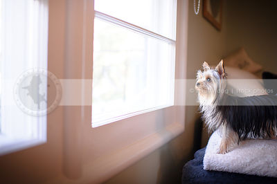 cute small yorkie dog posing at window at home indoors