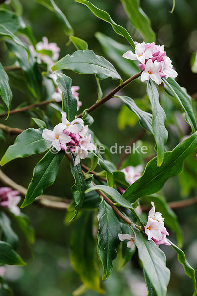 Daphne bholua. Sir Harold Hillier Gardens, Ampfield, Romsey, Hants, UK