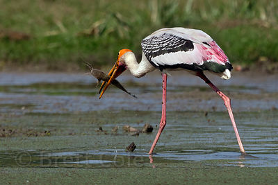 Painted stork (Mycteria leucocephala) eating a catfish, Keoladeo National Park, Rajasthan, India
