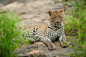 Leopard (Panthera pardus), Sabi Sands, Greater Kruger National Park, South Africa