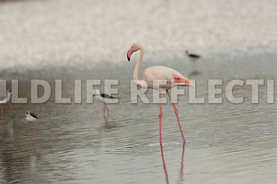 Flamingo with Stilts 2