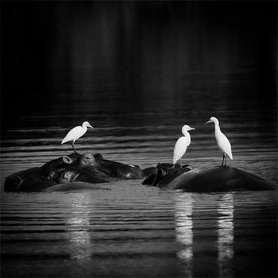 X-Hippos_with_birds_Laurent_Baheux