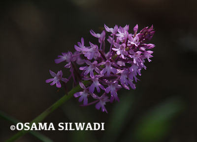 The Wildflowers of Palestine - Pyramidal Orchid