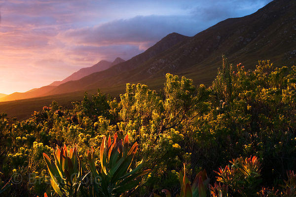 Spectacular view of late light on the fynbos vegetation in a remote section of the Langeberg Range, looking West, Wildcliff N...